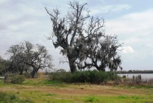 Dying oaks along a flooded pasture.