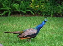 Resident peacock - My cousin's neighborhood and a couple of dozen resident peacocks.
