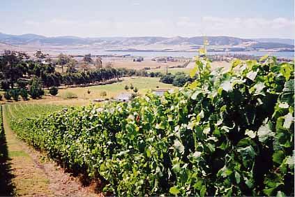 Tasmanian vineyard