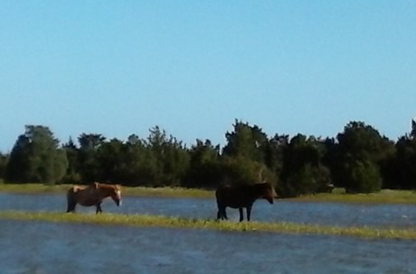 Wild Horses of Shackleford Banks