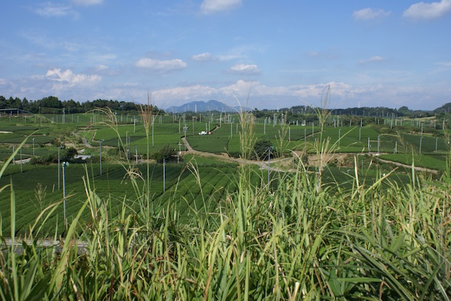 Tea fields in Kakegawa, Japan