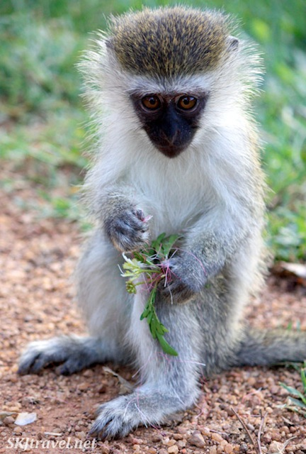 Vervet monkey with a bouquet of weeds on the UWEC grounds