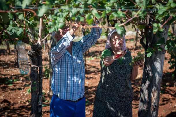 Slovenian Grape harvest
