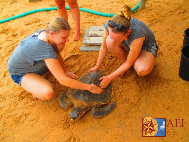 Turtle rescue in Sri Lanka. Photo courtesy of Animal Experience International.