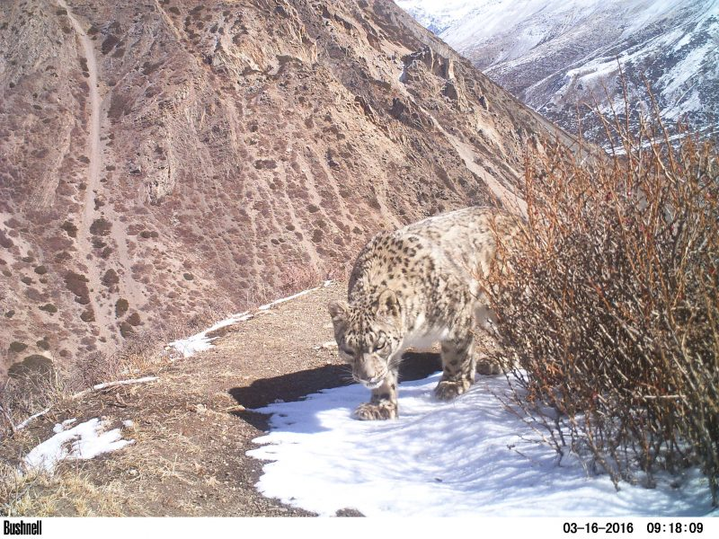 conservation safaris, snow leopard