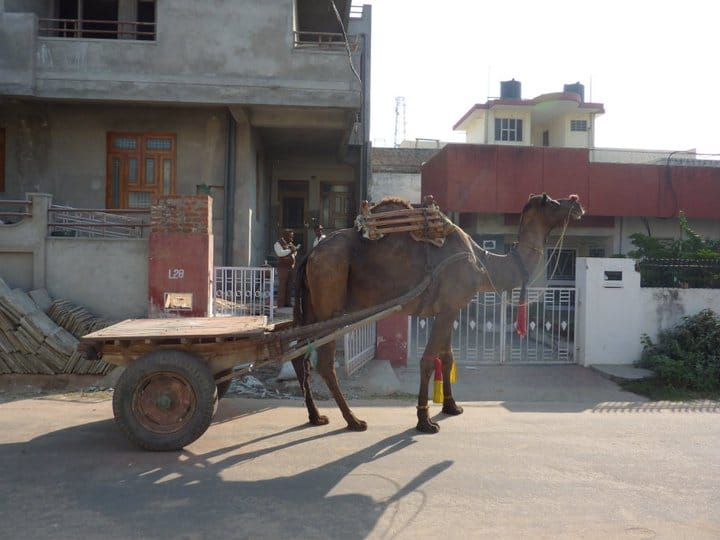 camel pulling a cart