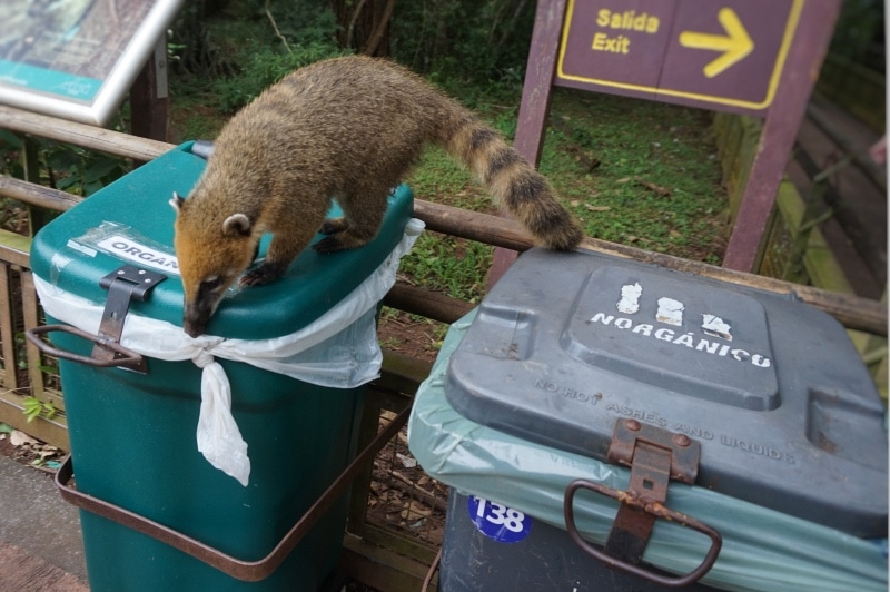 Wildlife searching through garbage bin