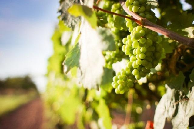 Les vendanges ont bien démarré en Provence | www.epicuriendusud.com