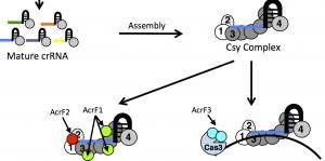 Anti-CRISPR Proteins, Viral CRISPRS, And Spacer Aquisition