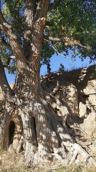 Cottonwood tree at the campsite