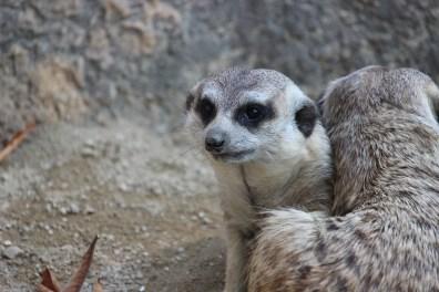 Meerkat 3