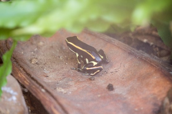 Posonous frog