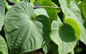 Kava – What you should know