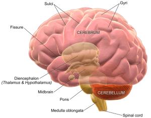 8 zakořeněných mýtů o lidském mozku