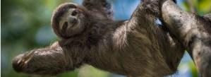 Nejpomalejší zvířata světa: Lenochod versus šnek