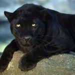 Bájný močálový tygr: Žije v Anglii záhadná černá šelma?