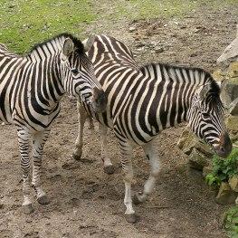 Stá zebra Chapmanova v liberecké zoo
