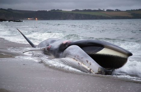 ST AUSTELL, ENGLAND - AUGUST 13: A female fin whale opens its mouth as it lies stranded and alive on the beach at Carlyon Bay on August 13, 2012 in St Austell, England. The stranded whale was spotted by holidaymakers just after 5pm and initially rescuers had hoped to refloat it. However the 60ft 20metre fin whale, a globally endangered species and the second largest animal on the planet, sadly died on the beach. (Photo by Matt Cardy/Getty Images) ORG XMIT: 150345698