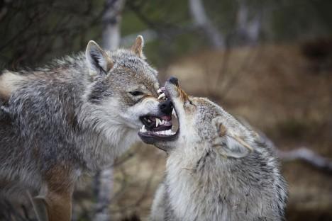 Vlky a jejich mléko miluje Eleonora nadevše.