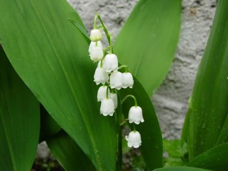 3. Konvalinka vonná - Tato květina bývá považována za symbol nevinnosti, i v ní se ale skrývá zákeřný jed. Ten u člověka působí malátnost, zvracení a křeče končící až srdeční zástavou.