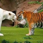 Unikátní hříčky přírody! Sněhobílý aligátor, žirafa i klokan