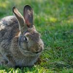Kdy invaze králíků téměř zničila Austrálii?