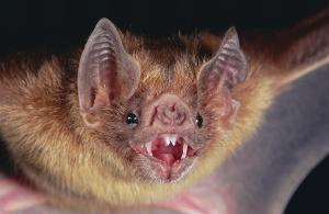 Takhle vypadá netopýr, který má rád krev!