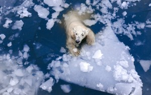 Unikátní polární šelmy: Jak přežívají v děsivých mrazech?