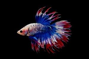 Tajemství akvarijních rybiček: Ostré trny i možná otrava!