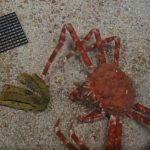 VIDEO: Největší krab na světě vylezl ze skořápky a proměnil se v pavouka