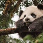 Pandy nejsou jen roztomilá zvířata, ale také cenný vývozní artikl