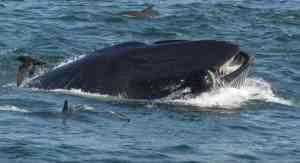 Potápěče málem spolkla velryba: Z lodi to pozorovala jeho žena!