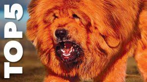 Kolik byste dali za nejdražší psí plemeno?