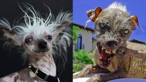 Existuje nejošklivější pes na světě?
