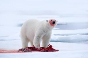 Častější případy kanibalismu u ledních medvědů