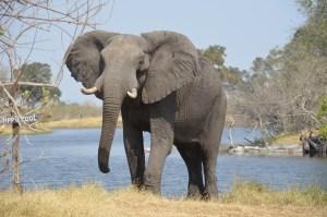 Dudlík, šnorchl i sprcha v jednom. Co jste nevěděli o sloním chobotu?