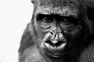 Jak truchlí gorily?