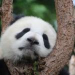 """Roztomilá panda: Černými """"brýlemi"""" vás vyzývá na souboj!"""
