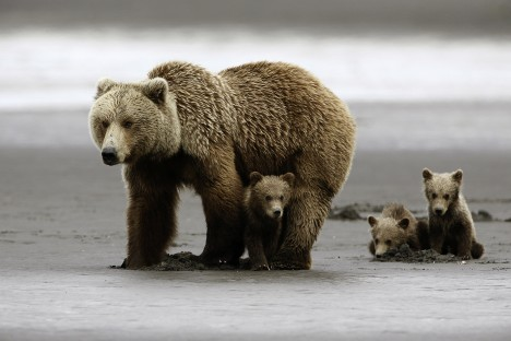 Grizzly Bear (Ursus arctos horribilis) Sow and Three Cubs of the YearKatmai National Park, Alaska, USA The tide was out, the sand was blowing, and the wind had some rain in it - not perfect for photography, but perfect for a grizzly sow (female) and her three young cubs to clam for butter clams at low tide. One of the cubs was less certain about our presence, a party of three who waited more than 2 hours for them to approach us. While the sow clammed, the little ones picked up scraps and stared at me, alternatively.