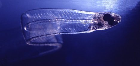 Leptocephalus larva