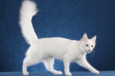 Domácí kočky jsou jediné svého druhu, který chodí s ocasem nahoru. Divoké kočky jej drží vodorovně, nebo skrývají mezi nohama. Ocas samotný má pro kočku velký význam, zejména při udržování rovnováhy a při skocích. Kočka má 250 kostí a z toho je celých 10 % v ocase. Právě to je důležité pro dobré vyvažování při pohybu.