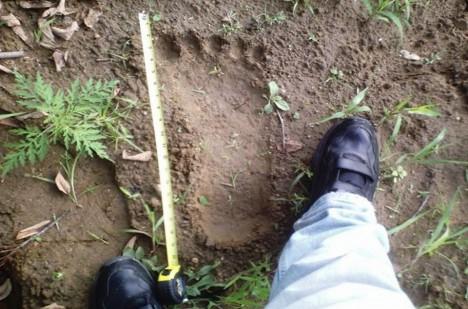 V souvislosti s bridgewaterským trojúhelníkem se často mluví o tzv. Bigfootovi, což má být asi dva metry vysoké monstrum s dlouhými pažemi, jehož tělo pokrývá hustě tmavá srst.  Lze ho zde spatřit?