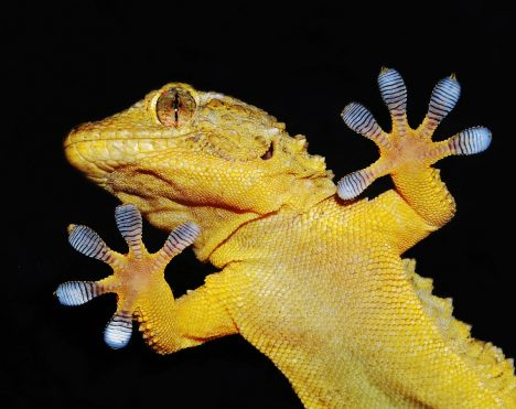 Nad tím, jak tyto ještěrky dokážou chodit po jakémkoliv povrchu, si vědci dlouho lámali hlavu. Původně se myslelo, že mají na chodidlech nějaké přísavky adrží je podtlak. Odpověď ale dal až výzkum pod výkonným mikroskopem. Lamely na kůži gekonů totiž tvoří miliony jemných vláken, která fungují podobně jako suchý zip, ato klidně ina hladkém skle.