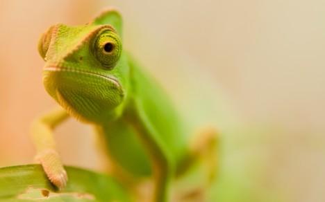 Nejběžnější barvou chameleonů jsou nejrůznější odstíny zelené.