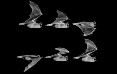 Při vědecké studii v americké Brownové univerzitě byly pořízeny stovky snímků přesně mapující práci netopýřích křídel.