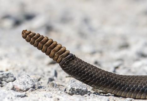 Chrastítko na konci ocasu tvoří keratinové destičky, které jsou složeny podobně jako šišky jehličnatých stromů. Mladí chřestýši jej ale nemají, objevuje se teprve po prvním svléknutí kůže. Při každém dalším přibývá na chrastítku jeden kroužek.