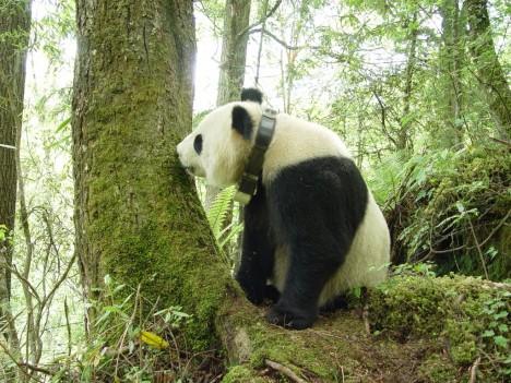 Obojek s navigací a přístroji umístěný na pandí krk vážil 1,2 kg a po dvou letech nošení samovolně odpadl.
