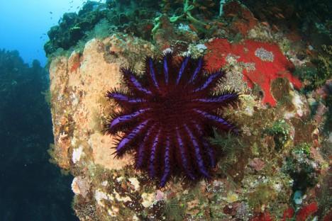 Hvězdice trnová pozře 6 metrů čtverečních korálů za rok. Přepokládá se, že tyto hvězdice mají na svědomí 40 % z celkového úbytku korálů.