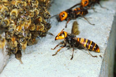 Tyto sršně podnikají útoky na včelí úly, kde pozabíjí všechny včely, aby se mohly dostat k plástvím s včelími larvami.