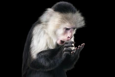 Opice nazývané kapucíni se při experimentu naučili používat žetony k nákupu sladkostí, použili jej ale i k pořízení sexu.